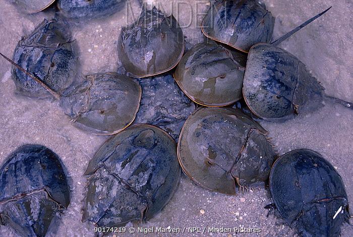 Horseshoe, King crabs spawning at full moon (Limulus polyphemus) New Jersey USA  -  Nigel Marven/ npl