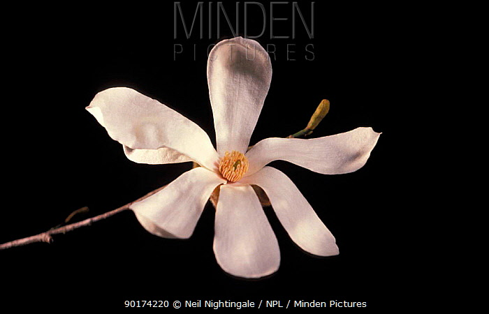 Magnolia flower grown from 2000 year-old seed (Magnolia kobus) (Private Life of Plants)  -  Neil Nightingale/ npl