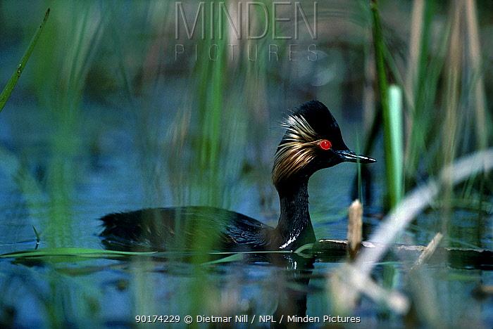 Black necked grebe in reeds (Podiceps nigricollis) France  -  Dietmar Nill/ npl