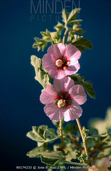 Mallow flower (Lavatera maritima) Spain  -  Jose B. Ruiz/ npl