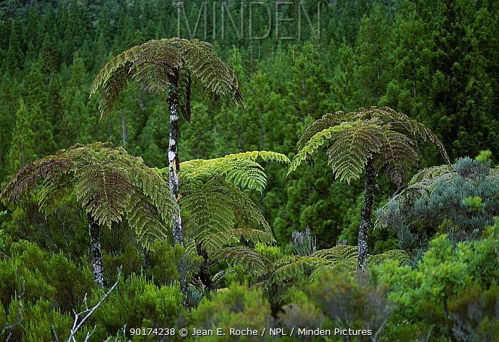 Tree ferns Foret de la plaine des Palmistes La Reunion Indian ocean  -  Jean E. Roche/ npl