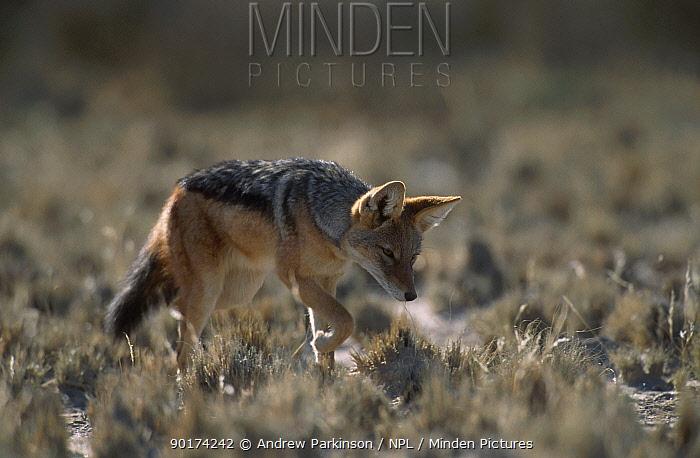 Black backed jackal stalking rodent prey (Canis mesomelas) Kgalagadi TFP South Africa  -  Andrew Parkinson/ npl