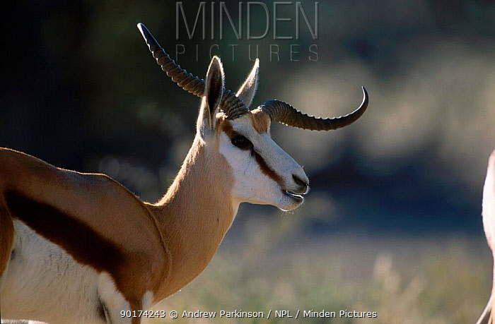 Springbok with defective horn (Antidorcas marsupialis) Kgalagadi TFP South Africa  -  Andrew Parkinson/ npl