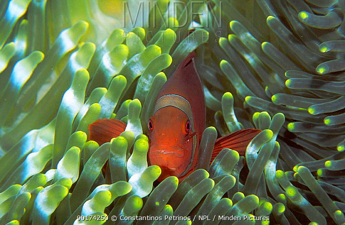Spine cheeked anemonefish living in Bulb-tentacle sea anemone Sulawesi Indonesia  -  Constantinos Petrinos/ npl