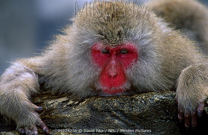 Japanese macaque portrait (Macaca fuscata) Jigokudani, Japan  -  David Pike/ npl