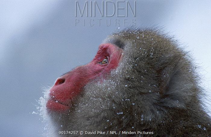 Japanese macaque portrait (Macaca fuscata) Jigokudani Japan  -  David Pike/ npl