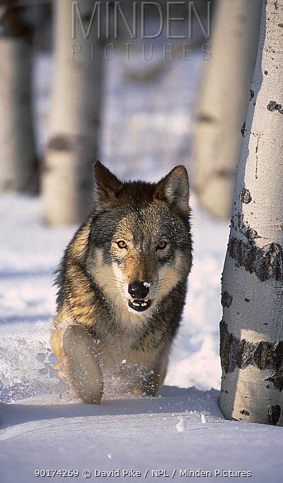 Grey wolf running through snow (Canis lupus)captive USA  -  David Pike/ npl