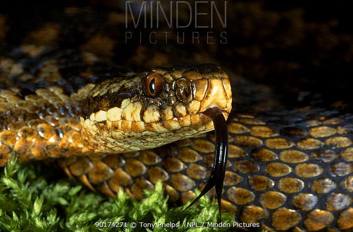 Female Adder tasting the air with tongue (Vipera berus) Purbeck Dorset UK 2000  -  Tony Phelps/ npl
