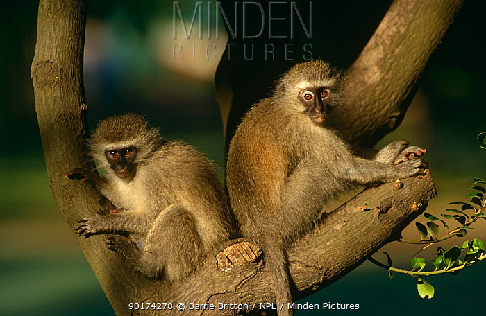 Vervet monkeys (Cercopithecus aethiops) two juveniles, South Africa  -  Barrie Britton/ npl