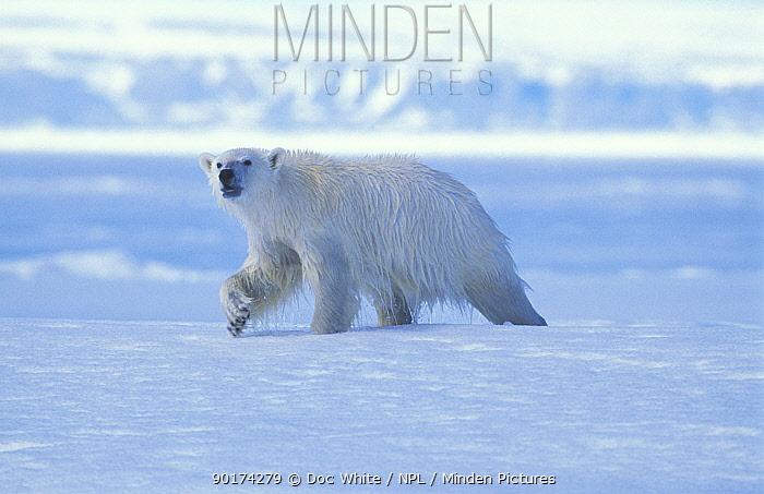 Wet Polar bear after swimming (Ursus maritimus) Canada  -  Doc White/ npl