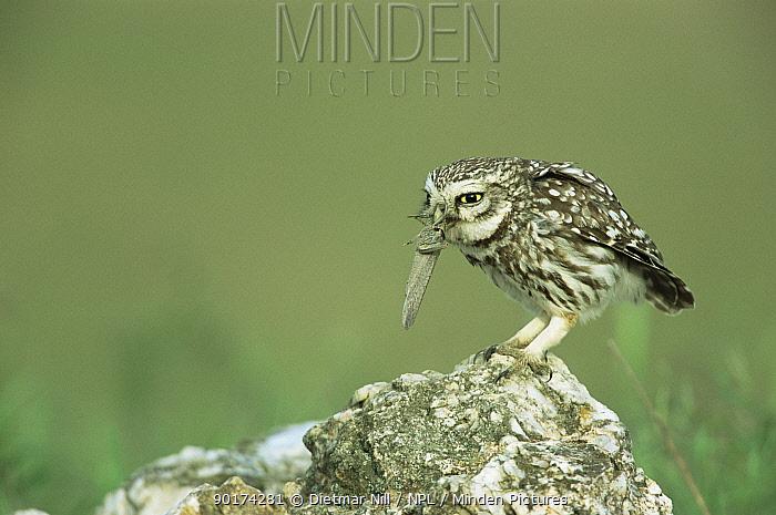 Little owl (Athene noctua) feeding on grasshopper prey, Extremadura, Spain  -  Dietmar Nill/ npl