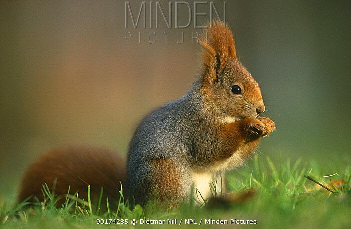 Red squirrel (Scuirus vulgaris) Germany  -  Dietmar Nill/ npl