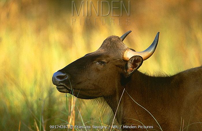 Wild gaur female (Bos gaurus) Kanha NP, Madhya Pradesh, India  -  Francois Savigny/ npl