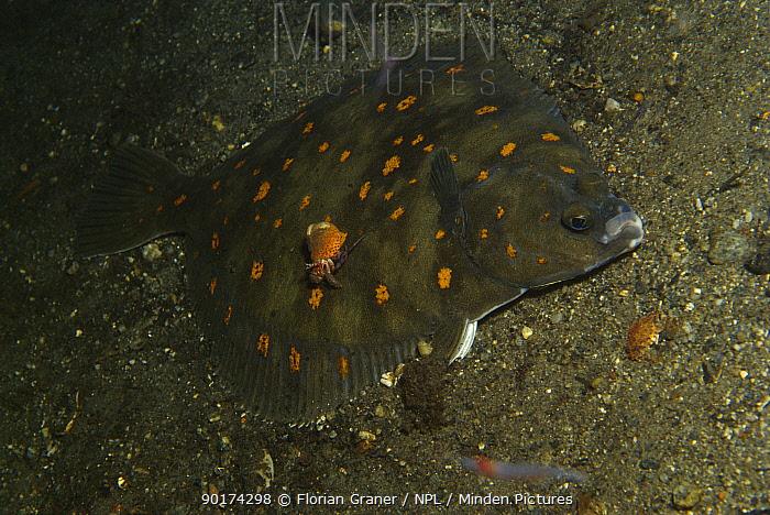 Plaice fish (Pleuronectes platessa) and Hermit crab Josenfjord, Norway  -  Florian Graner/ npl