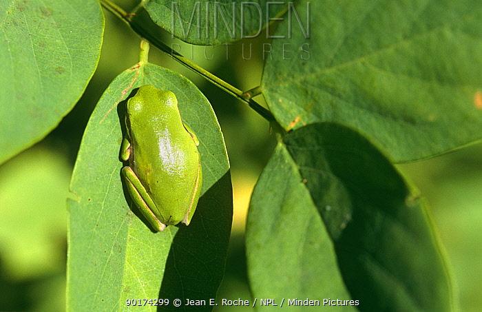 Pool frog (Rana lessonae) on leaf, Camargue, France  -  Jean E. Roche/ npl