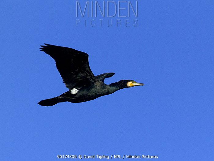 Common cormorant (Phalacrocorax carbo) adult in flight, UK  -  David Tipling/ npl