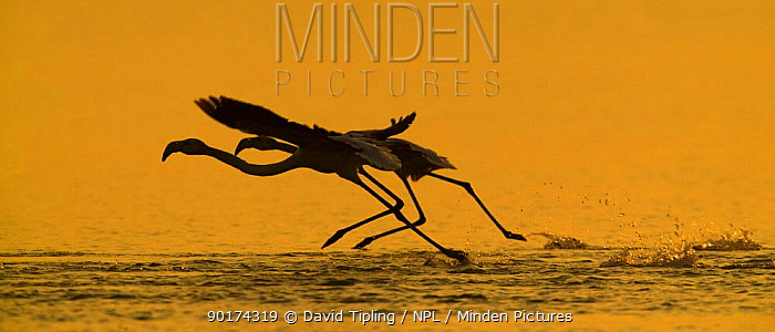 Silhouette of Greater Flamingo (Phoenicopterus ruber) pair taking off, Greece  -  David Tipling/ npl