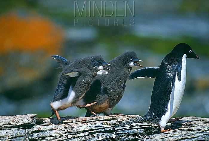Adelie Penguin (Pygoscelis adeliae) chicks chasing adult for food, Antarctica  -  David Tipling/ npl