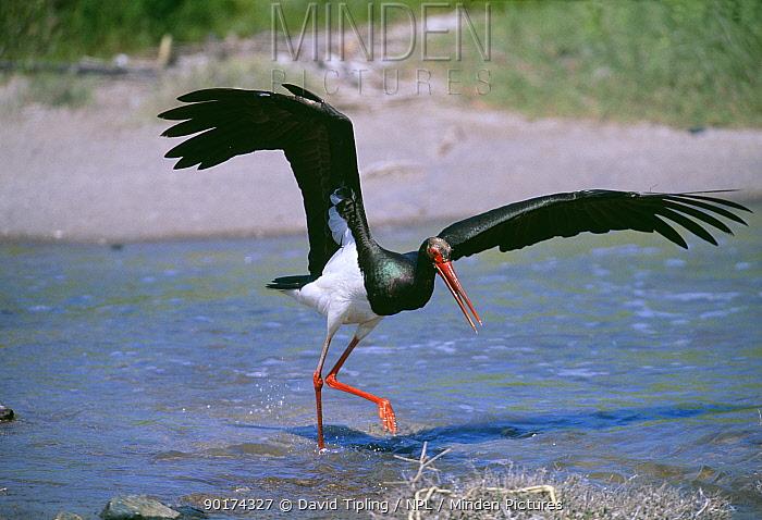 Black Stork (Ciconia nigra) hunting fish in shallows, Lesbos Island, Greece  -  David Tipling/ npl