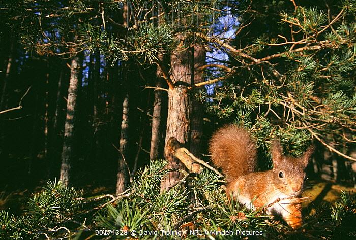 Red Squirrel (Sciurus vulgaris) in conifer tree, Scottish Highlands, UK  -  David Tipling/ npl