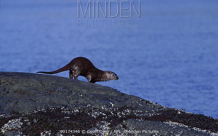 European river otter on coast (Lutra lutra)) Scotland UK  -  Geoff Dore/ npl