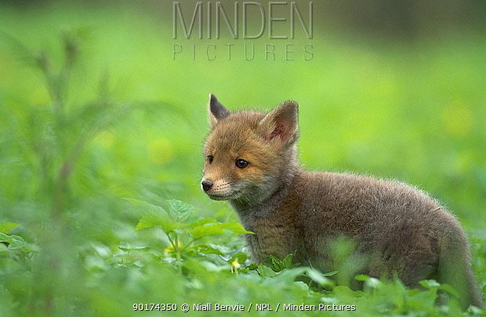 Red Fox cub (Vulpes vulpes) catpive Scotland UK  -  Niall Benvie/ npl