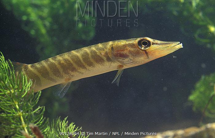 Juvenile Pike (Esox lucius) captive  -  Tim Martin/ npl