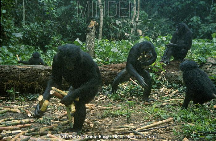 Bonobo group gathering sugarcane (Pan paniscus) tropical rain forest Wamba  -  Karen Bass/ npl