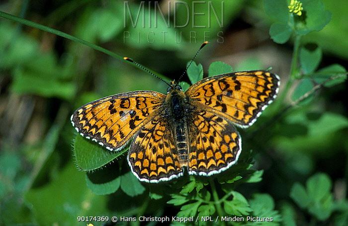 Glanville fritillary butterfly (Melitaea cinxia) Germany  -  Hans Christoph Kappel/ npl