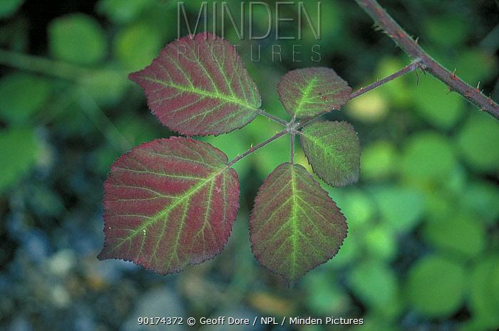 Blackberry leaves changing colour in autumn (Rubus fruticosus) UK  -  Geoff Dore/ npl