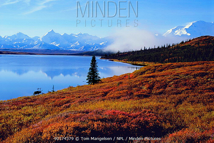 Reindeer, Caribou on shore of Wonder Lake (Rangifer tarandus) Denali NP Alaska  -  Tom Mangelsen/ npl