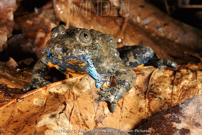 Yellow bellied toad feeding on dragonfly in leaf litter, Italy  -  Fabio Liverani/ npl