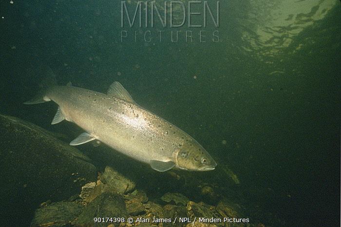 Atlantic salmon (Salmo salar) River Tavi, Devon, England, UK  -  Alan James/ npl