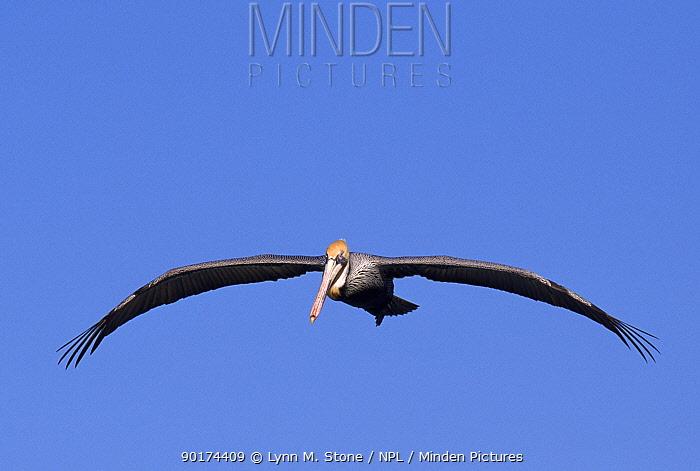 Brown pelican flying, USA  -  Lynn M. Stone/ npl