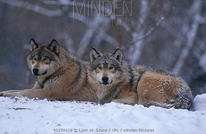Pair of grey wolves lying in snow (Canis lupus) captive USA  -  Lynn M. Stone/ npl