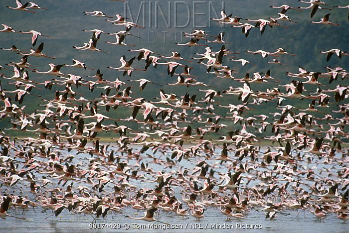 Lesser Flamingos (Phoeniconaias minor) flying over Lake Nakuru Kenya  -  Tom Mangelsen/ npl
