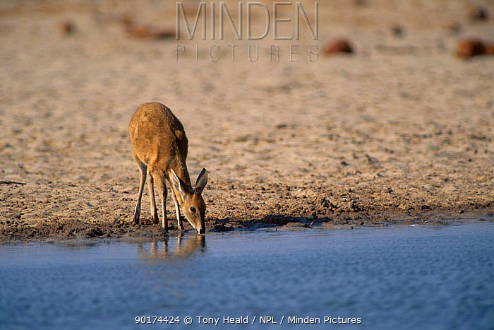 Common Duiker drinking at waterhole (Sylvicapra grimmia) Etosha NP Namibia  -  Tony Heald/ npl