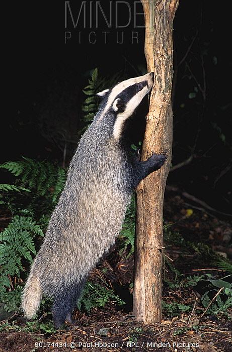 Badger sniffing at tree (Meles meles) Yorkshire, England  -  Paul Hobson/ npl