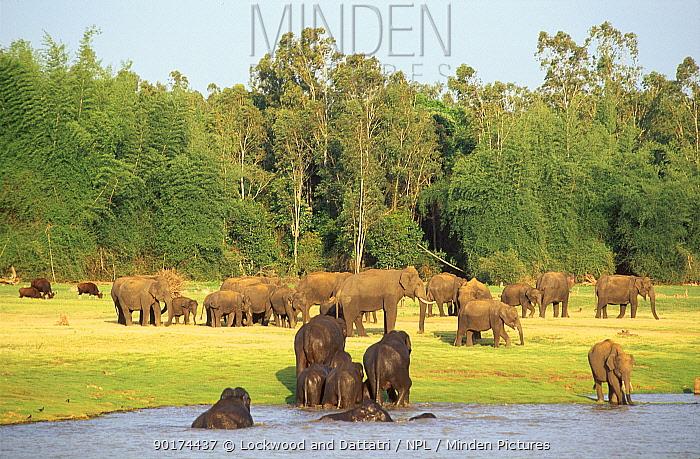 Indian elephants bathing and grazing (Elephas maximus) Kabini NP India  -  Lockwood & Dattatri/ npl