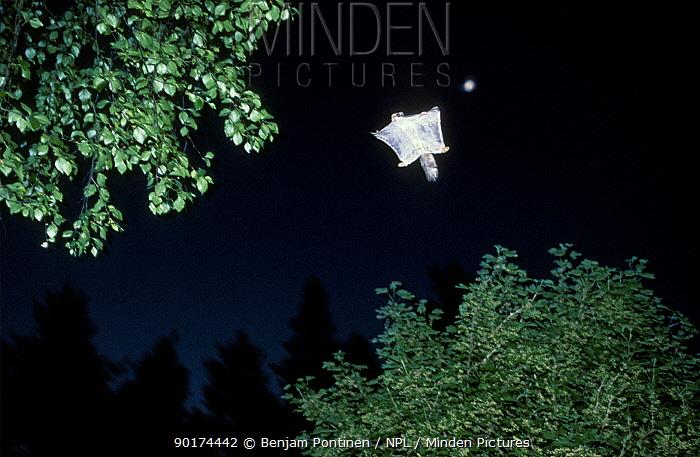 Siberian flying squirrel in flight (Pteromys volans) Finland  -  Benjam Pontinen/ npl