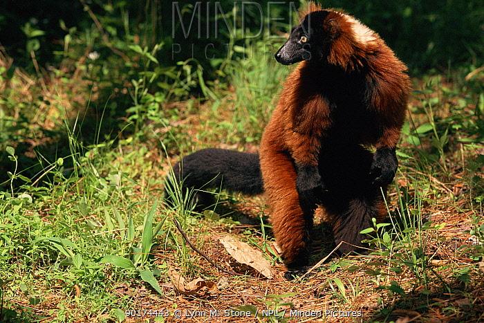 Red ruffed lemur (Varecia variegata ruber) captive, occurrs Madagascar  -  Lynn M. Stone/ npl