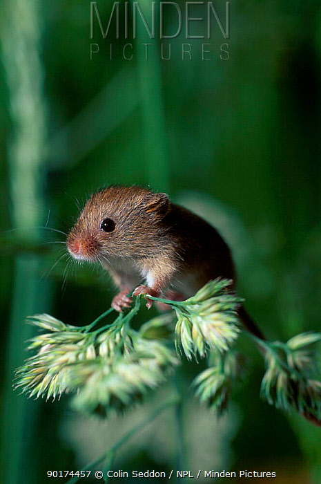 Harvest mouse on grass head (Micromys minutus) UK  -  Colin Seddon/ npl