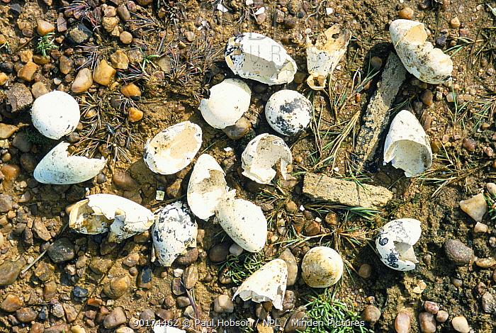 Razorbill eggs (Alca torda) eaten by Skua (Stercorarius sp) Handa Is, Scotland, UK  -  Paul Hobson/ npl