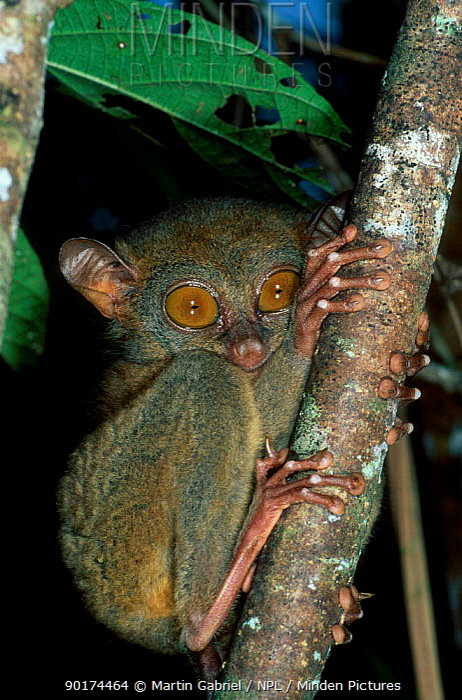 Philippine tarsier (Tarsius syrichta) captive Philippines Corella tarsier breeding centre  -  Martin Gabriel/ npl