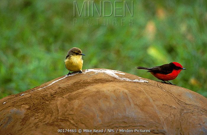 Vermilion flycatcher pair (Procephalus rubinus) on Giant tortoise Galapagos Santa Cruz  -  Mike Read/ npl