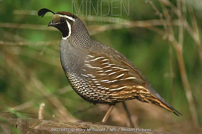 California quail (Lophortyx californica) Pt Reyes, California, USA  -  Mary Mcdonald/ npl