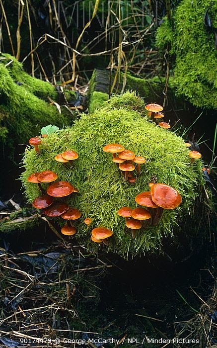 Velvet shank fungus growing in moss (Flammulina velutipes) Sussex, UK  -  George Mccarthy/ npl