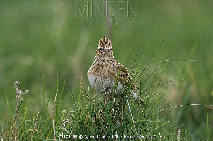 Skylark (Alauda arvensis) on ground Wiltshire, UK  -  David Kjaer/ npl
