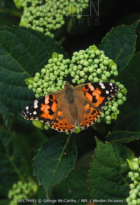 Painted lady butterfly (Cynthia cardui) feeding on plant, South Downs, Hants, UK  -  George Mccarthy/ npl