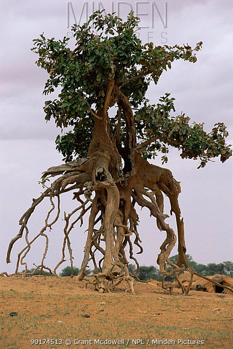 Tree with exposed roots on banks of Niger river, Mali, West Africa  -  Grant Mcdowell/ npl